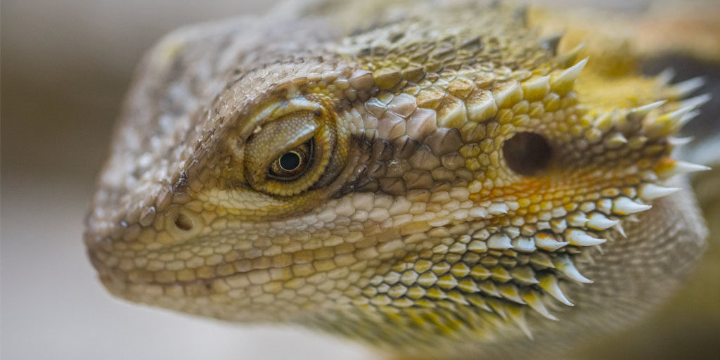 10 interesting facts about Bearded dragons