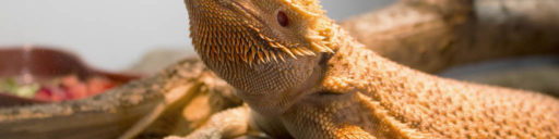 Creating a basking area for pet Bearded dragons