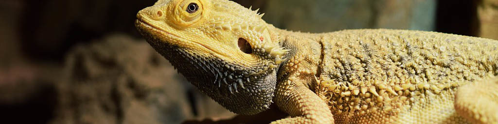 The costs of keeping pet Bearded dragons