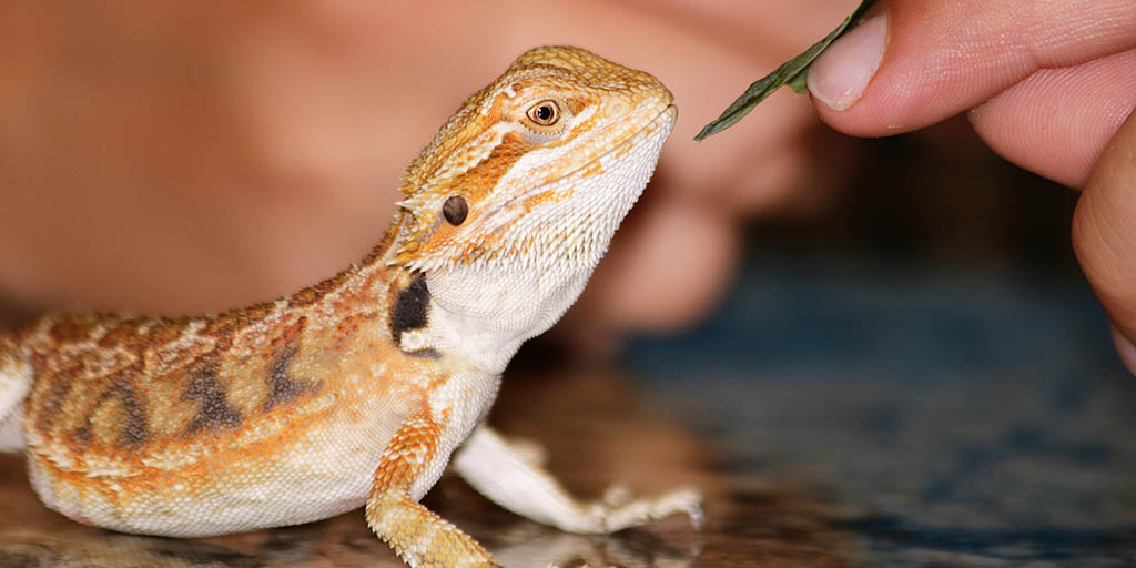 Bearded dragon eating behaviour