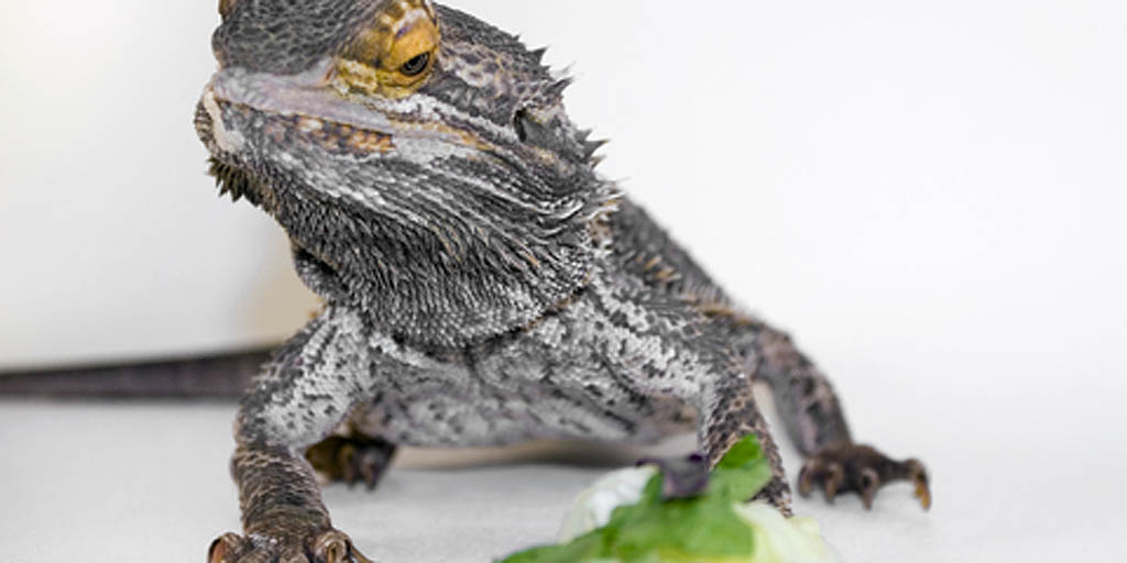 What greens to feed Bearded dragons