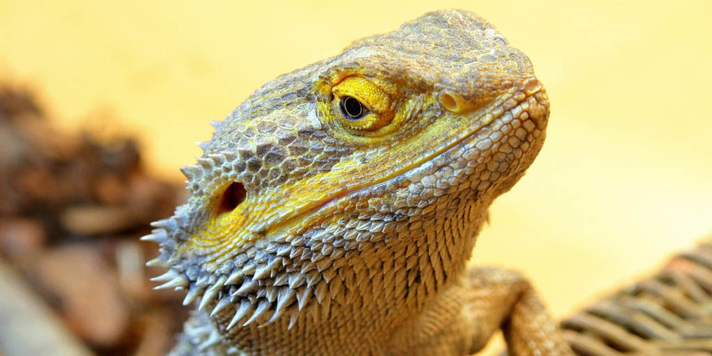 Head bobbing behaviour in Bearded dragons