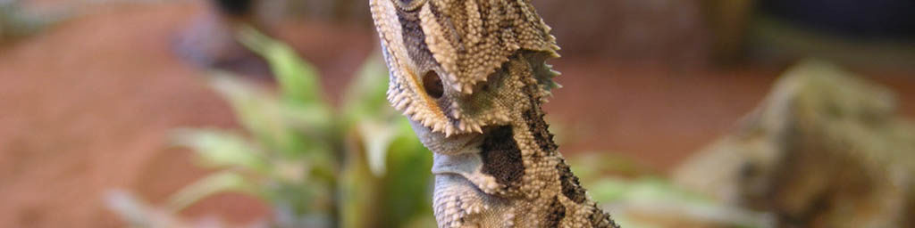 Bearded dragon husbandry