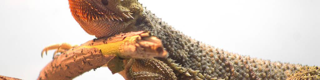 Bearded dragon hygiene