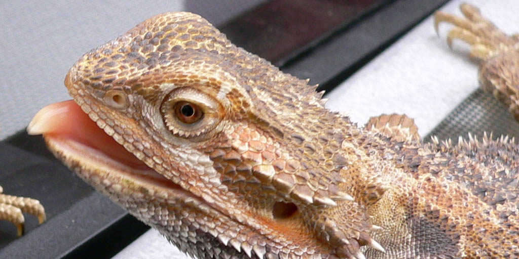 Licking behaviour in Bearded dragons