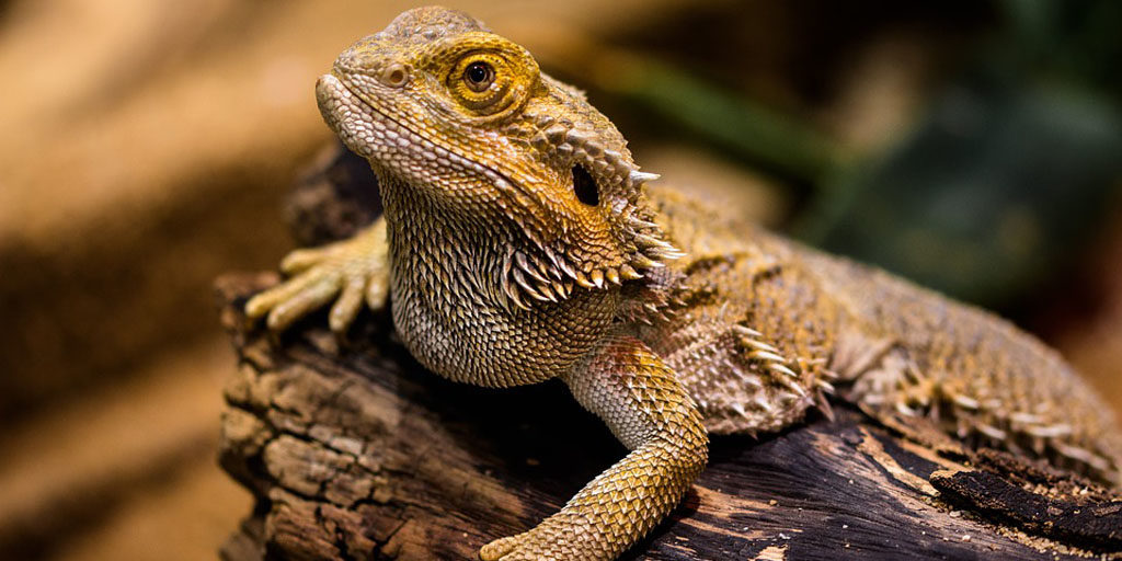 What Bearded dragons need