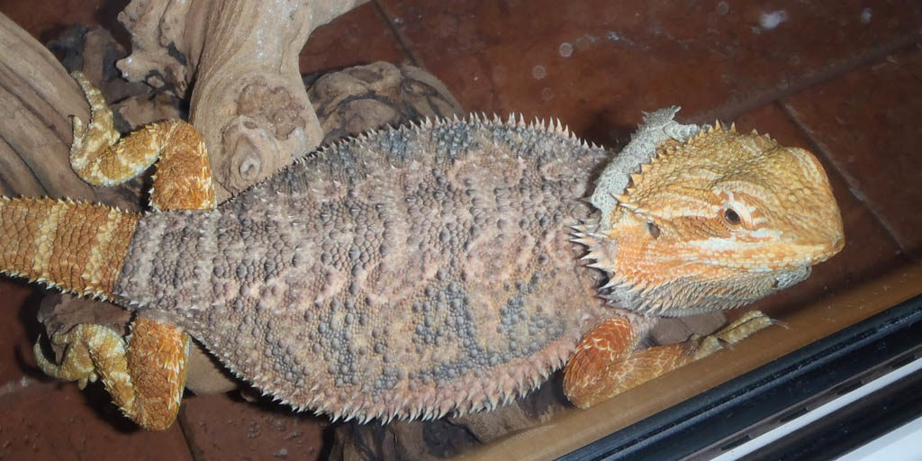 How often should my Bearded dragon shed its skin?