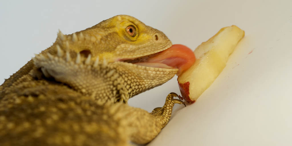 Bearded dragon supplementation-long-pinterest