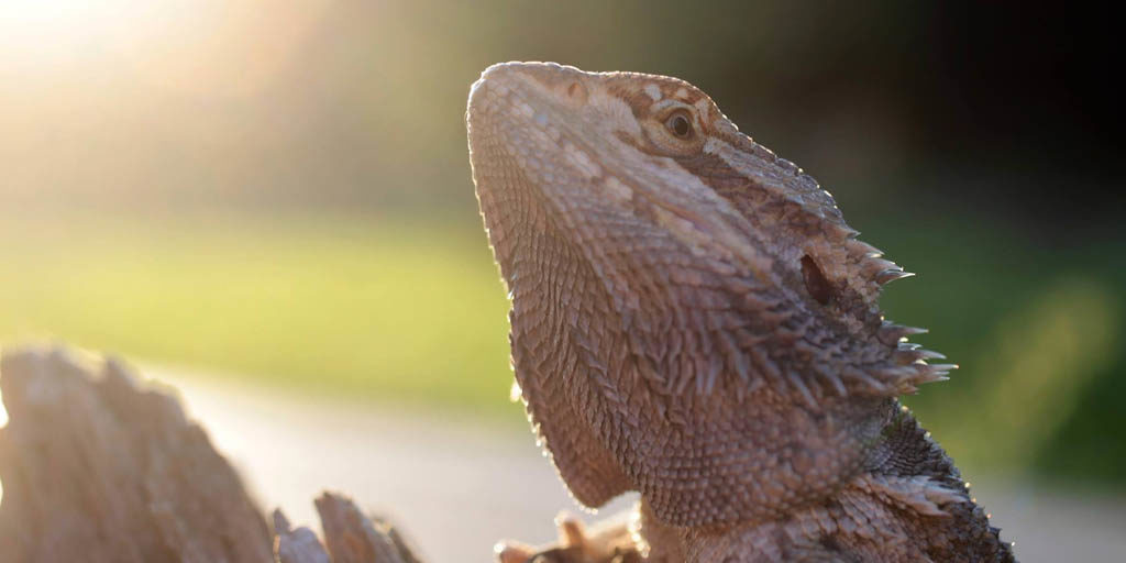 Bearded dragon temperatures