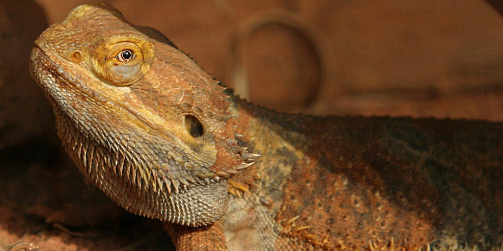 Causes of a lethargic Bearded dragon
