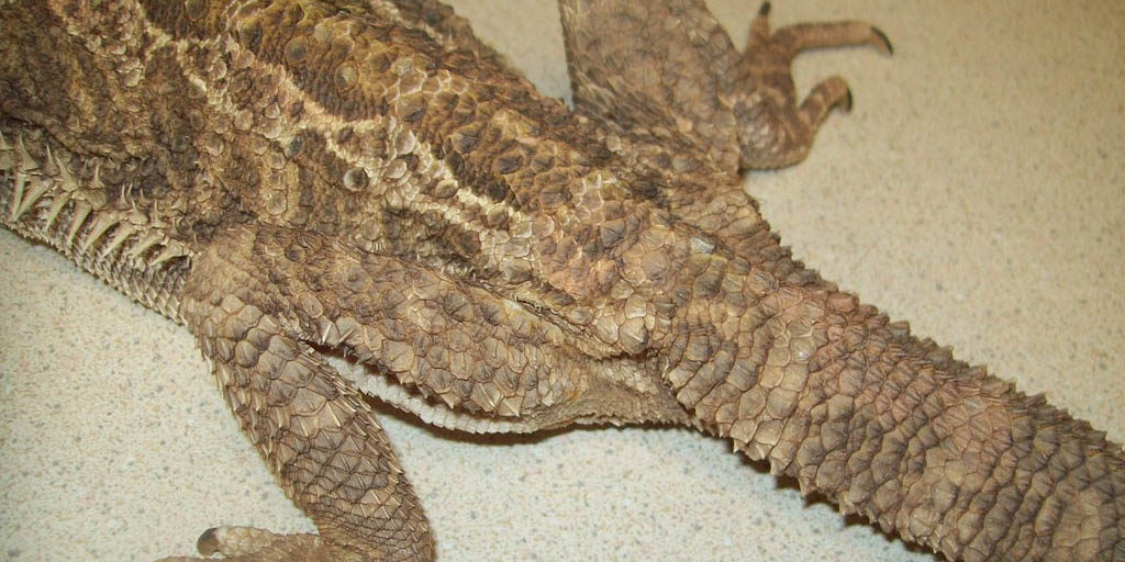 Coccidiosis in pet Bearded dragons