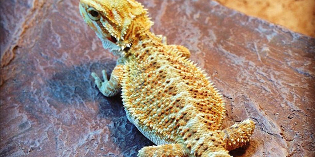 Common Bearded dragon injuries