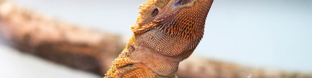 Foods not to feed to Bearded dragons