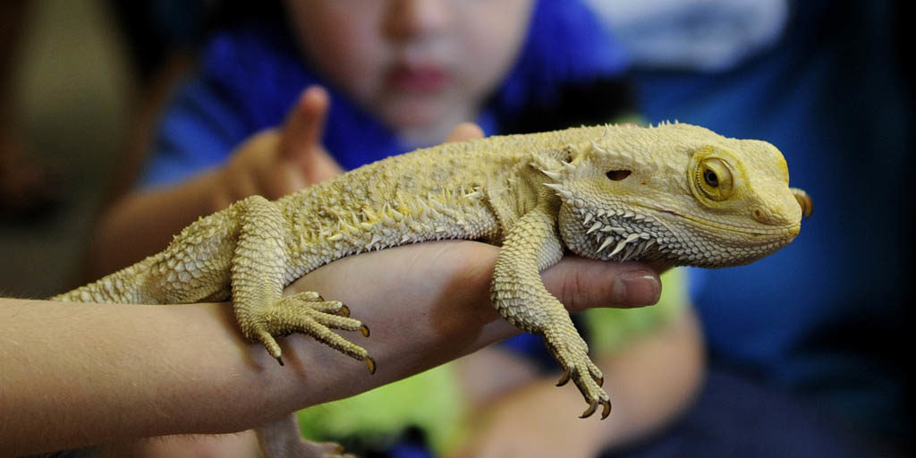 Intestinal worm infections in Bearded dragons