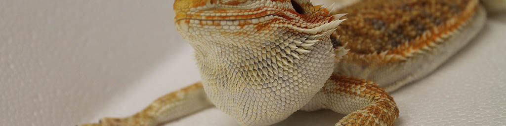 Is your Bearded dragon sick