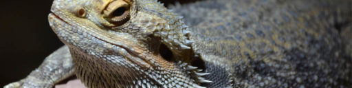 MIte infections on Bearded dragons