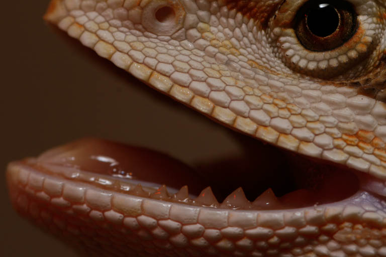 Normal Bearded dragon mouth and teeth