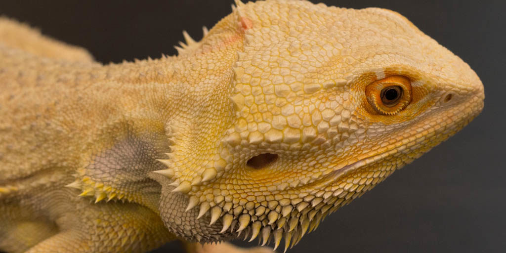 Reasons why a Bearded dragon refuses to eat