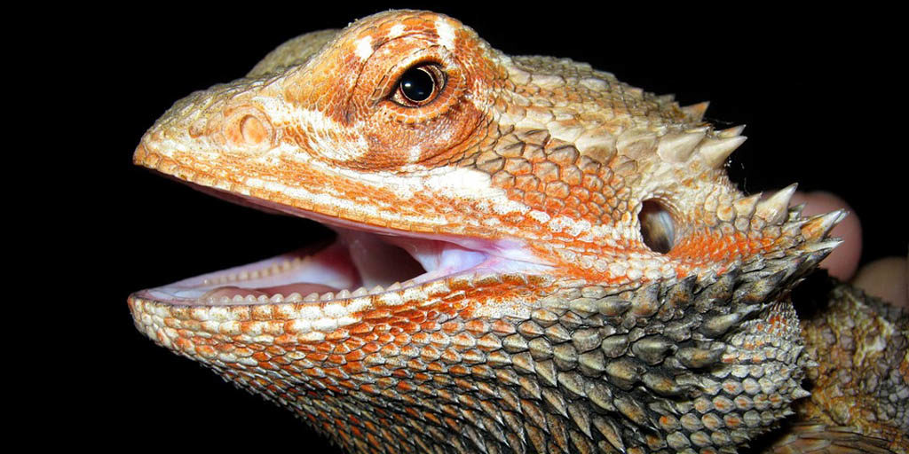 Signs of 'mouth rot' in Bearded dragons