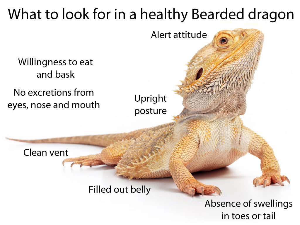 What to look for in a healthy Bearded dragon