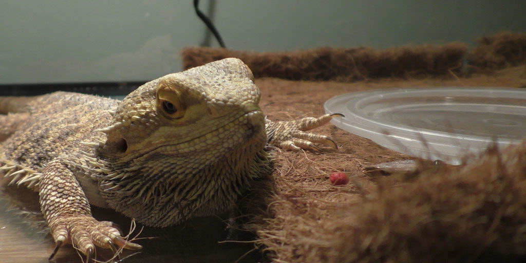 Using a glass tank to keep Bearded dragons