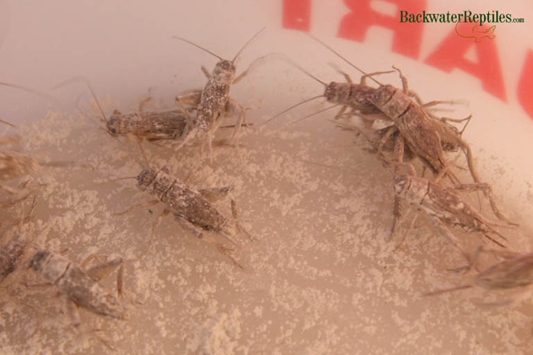 Vitamin dusted crickets