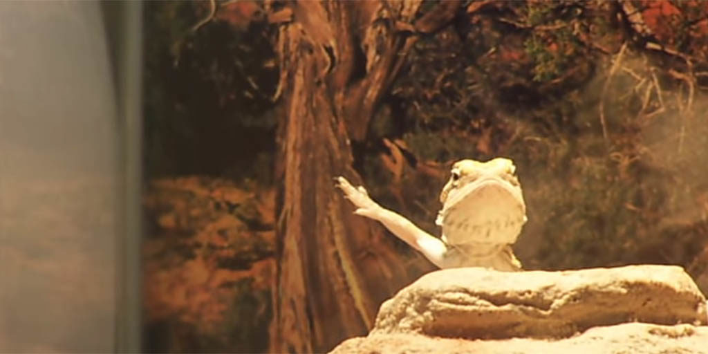 Waving behaviour in Bearded dragons