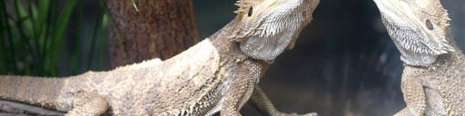Why Bearded dragons need UV lighting